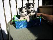 Щенки Сибирский Хаски для животных любящая семья