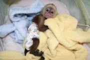 капуцин ребенка moncapuchin детенышей обезьян рук питаются мои дети и
