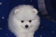 Великолепная щенки шпица.