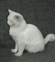 Отдам в хорошие руки взрослую кошку,  возраст примерно 9-10 месяцев